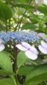 [植物][花]ガクアジサイ