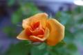 [植物][花]ミニバラ(エレガンスジュエル)