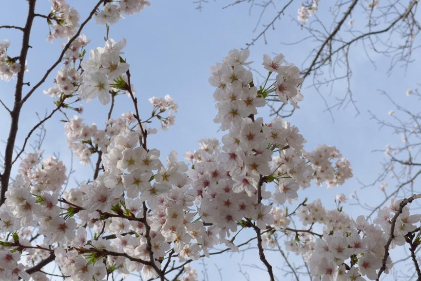 鎌倉・段葛の桜