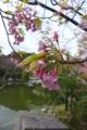 [植物][桜][花]鶴岡八幡宮にて