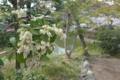 [植物][桜][花]鶴岡八幡宮にて。桜も満開、馬酔木も満開。