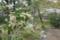 鶴岡八幡宮にて。桜も満開、馬酔木も満開。