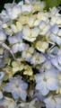 [花][植物]アジサイ