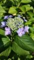 [花][植物]ガクアジサイ