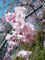 京都新聞写真コンテスト 京の桜*~薄紅色の優しさ~