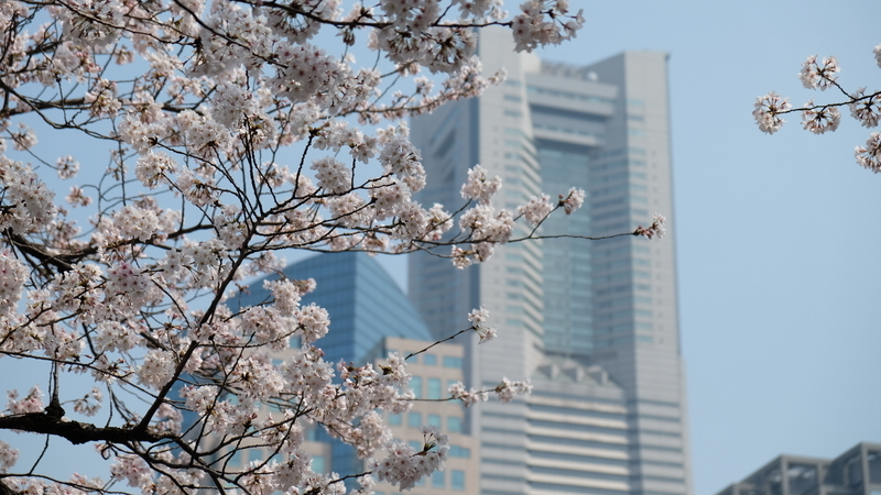 桜とランドマークタワー(桜)