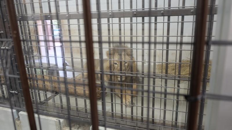 小屋の中のライオン