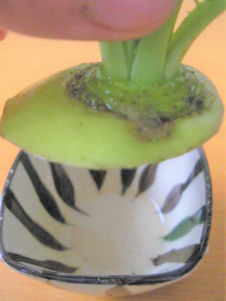 大根の葉の水耕栽培に最適な厚さの大根のヘタの画像