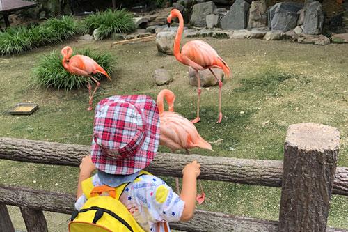 フラミンゴを見るぴよ太郎