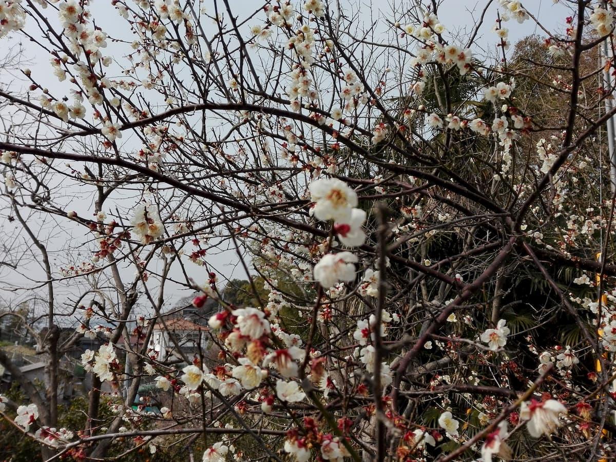 ume-blossoms