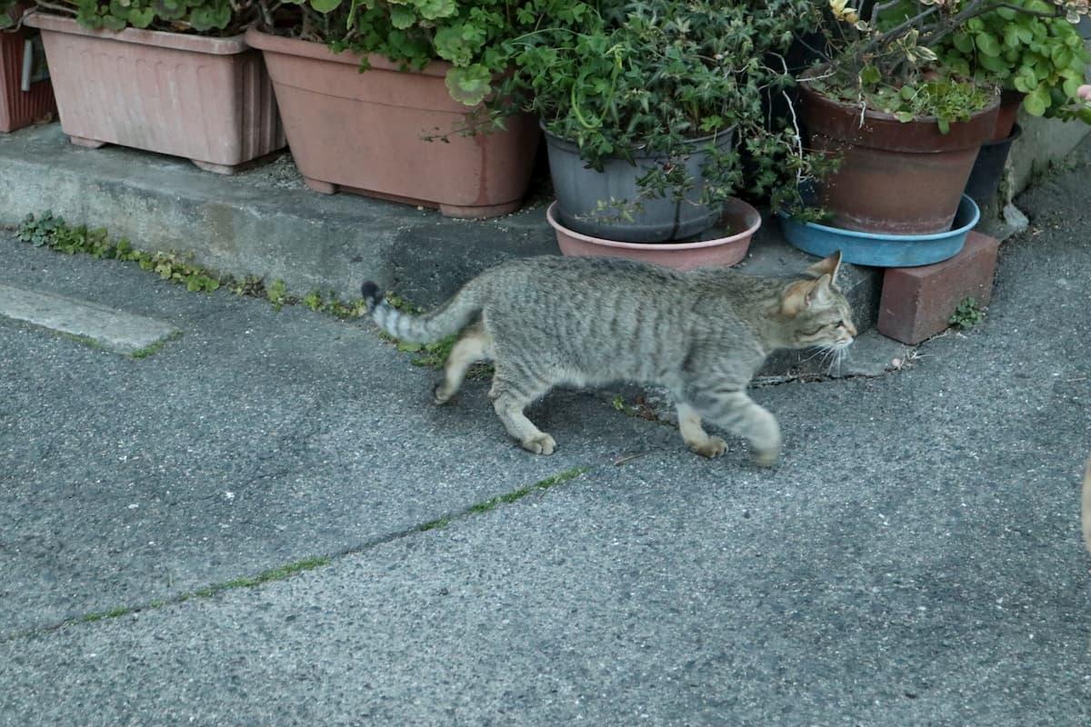 silver-tabby-cat