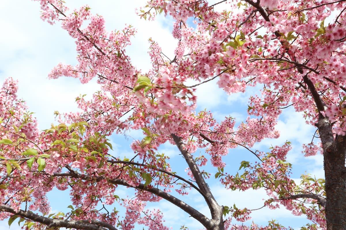 Kawazu-cherry-blossom
