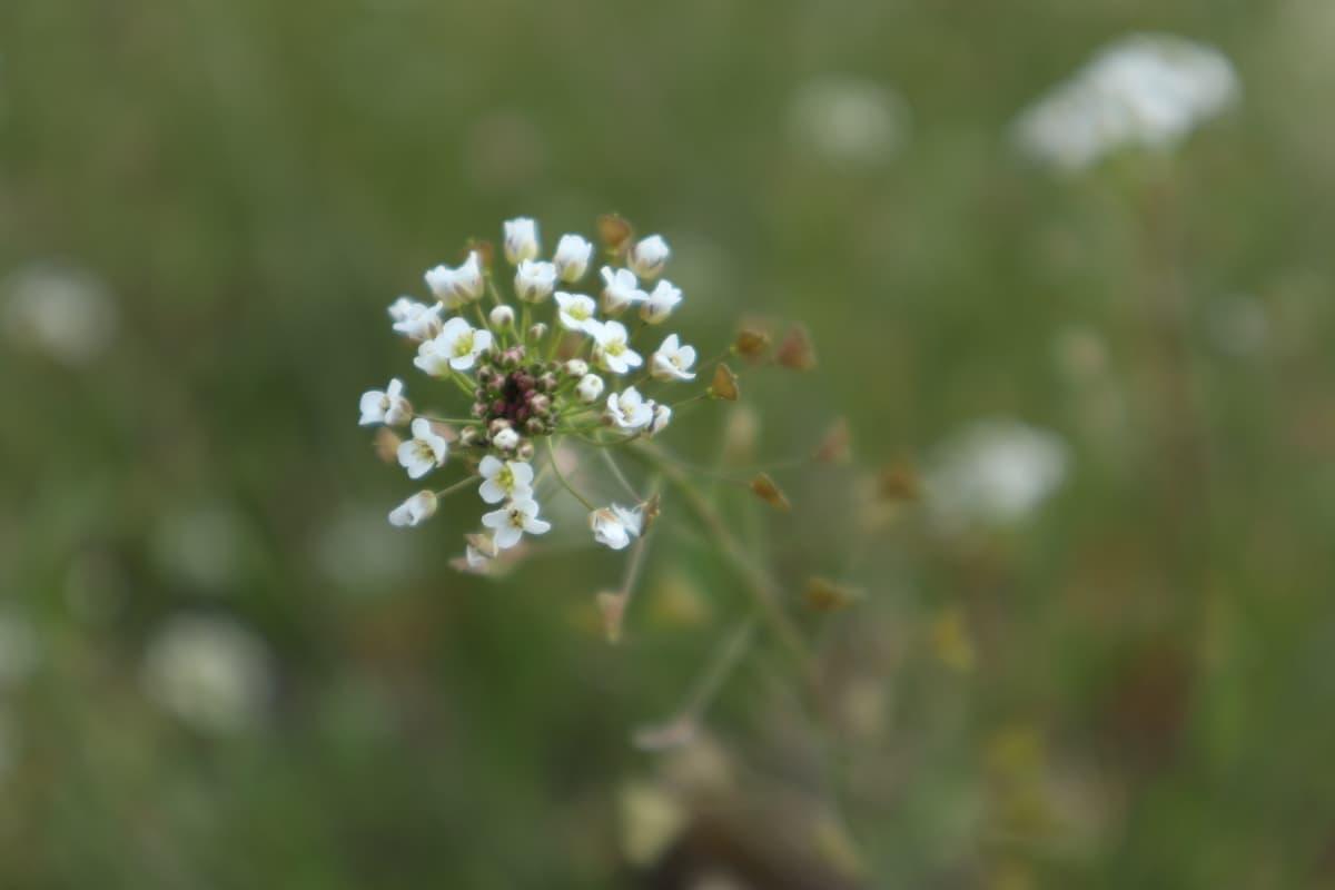 Nazuna-flower