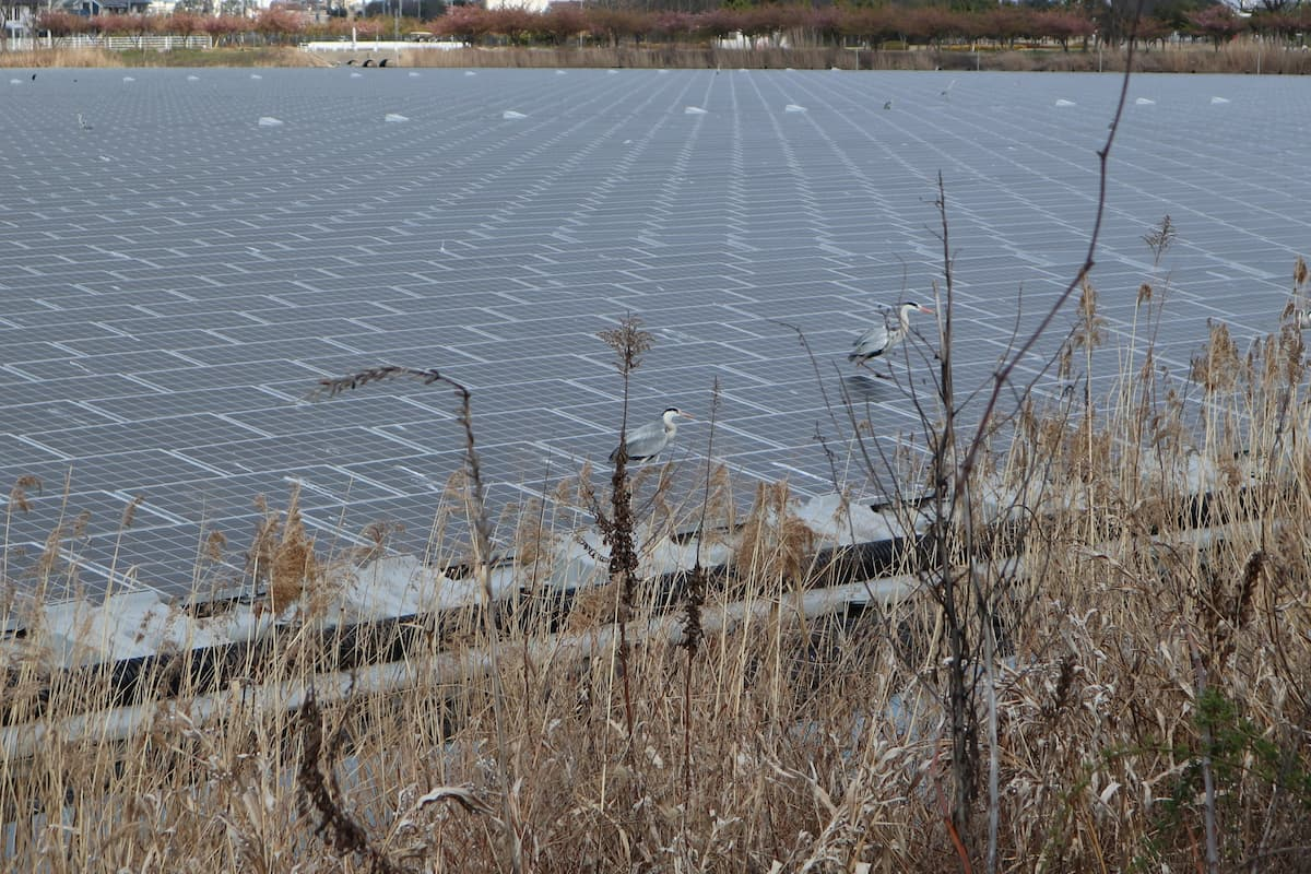 gray-heron-on-the-solar-panels