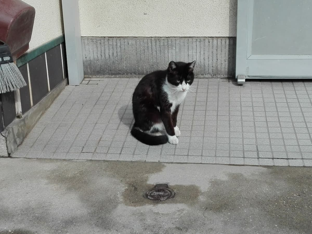 bicolor-cat