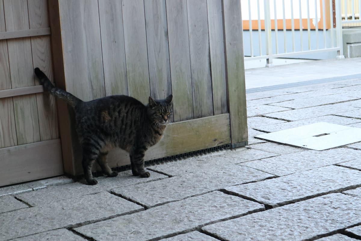 brown-tabby-cat