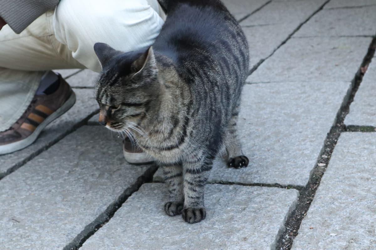 friendly-brown-tabby-cat