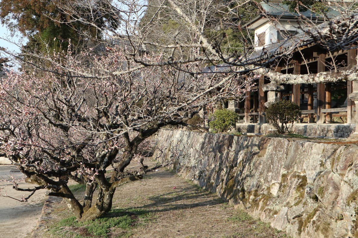 plum-trees