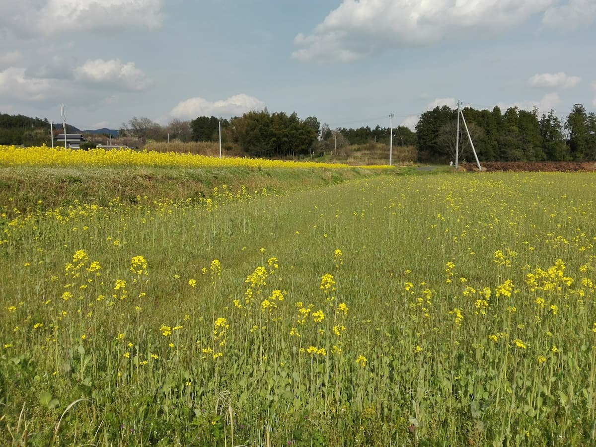 canola-fields