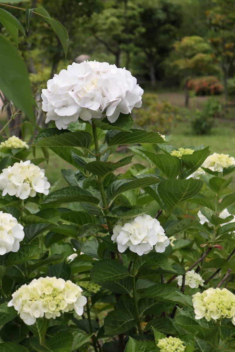 white-hydrangea