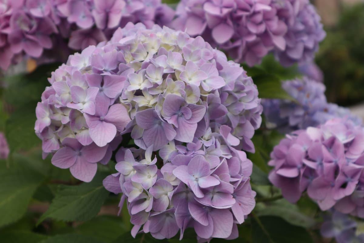 purple-hydrangea
