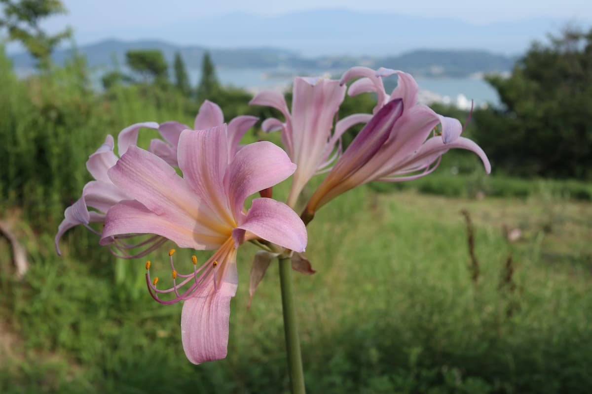 牛窓オリーブ園に咲く花
