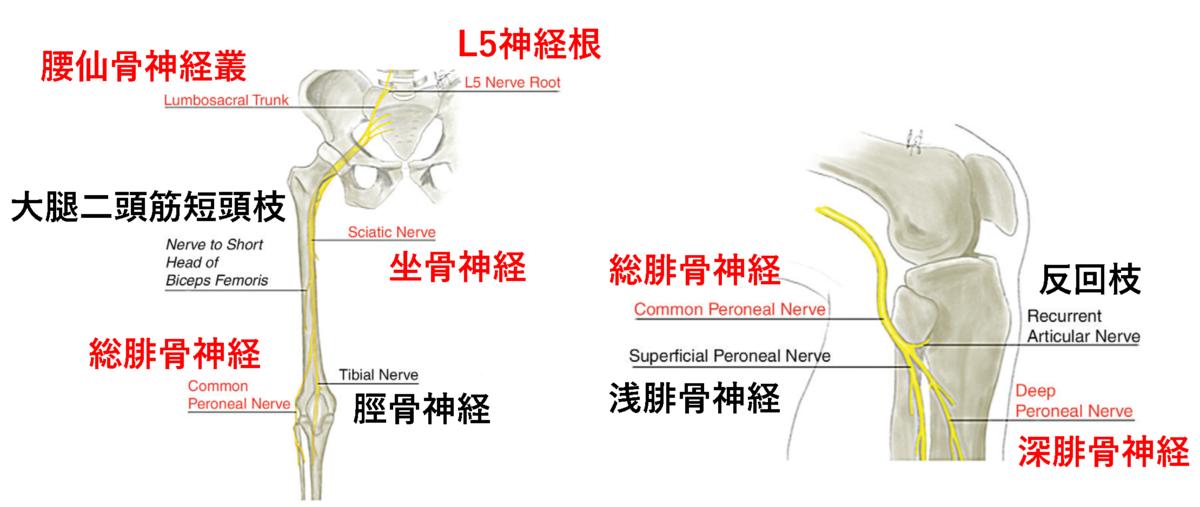 下垂足に関連する解剖知識と,下垂足を生じる部位.
