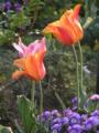 ユリ咲き系 ピンク