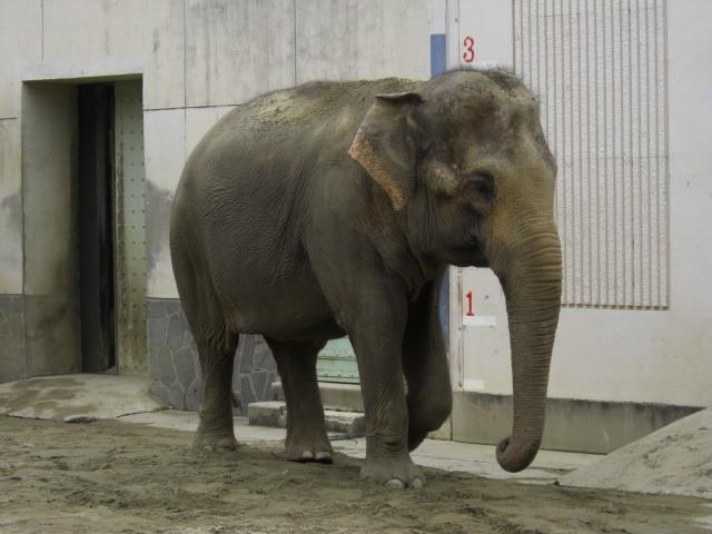 東山動物園の象