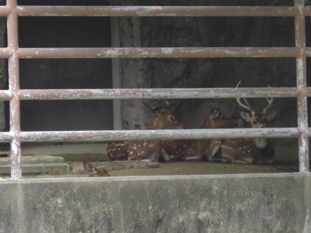 東山動物園の鹿