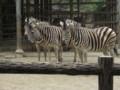 [動物]東山動物園にいるチャップマンシマウマ