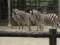 東山動物園にいるチャップマンシマウマ