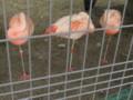 [動物]東山動物園のフラミンゴ