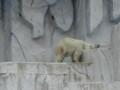 [動物]東山動物園のシロクマ