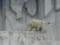 東山動物園のシロクマ