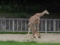 東山動物園のキリン