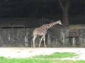 [動物]東山動物園のキリン
