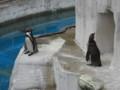 [動物]東山動物園のペンギン