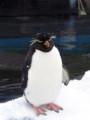[動物]旭山動物園のペンギン