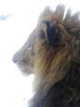 [動物]旭山動物園のライオン
