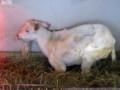[動物]旭山動物園の山羊