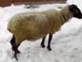 [動物]旭山動物園の羊