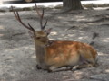 宮島の鹿(牡鹿)