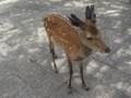 宮島の鹿(子鹿)