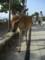 宮島の鹿(雌鹿)