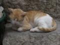 [クロアチア][猫]ドブロブニクで見かけた猫