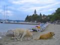 [クロアチア][動物]アドリア海沿岸の島の砂浜と犬2匹