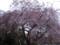 桜(北の丸公園)