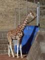 [動物]千葉市動物公園のアミメキリン