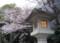 東郷神社の灯籠と桜